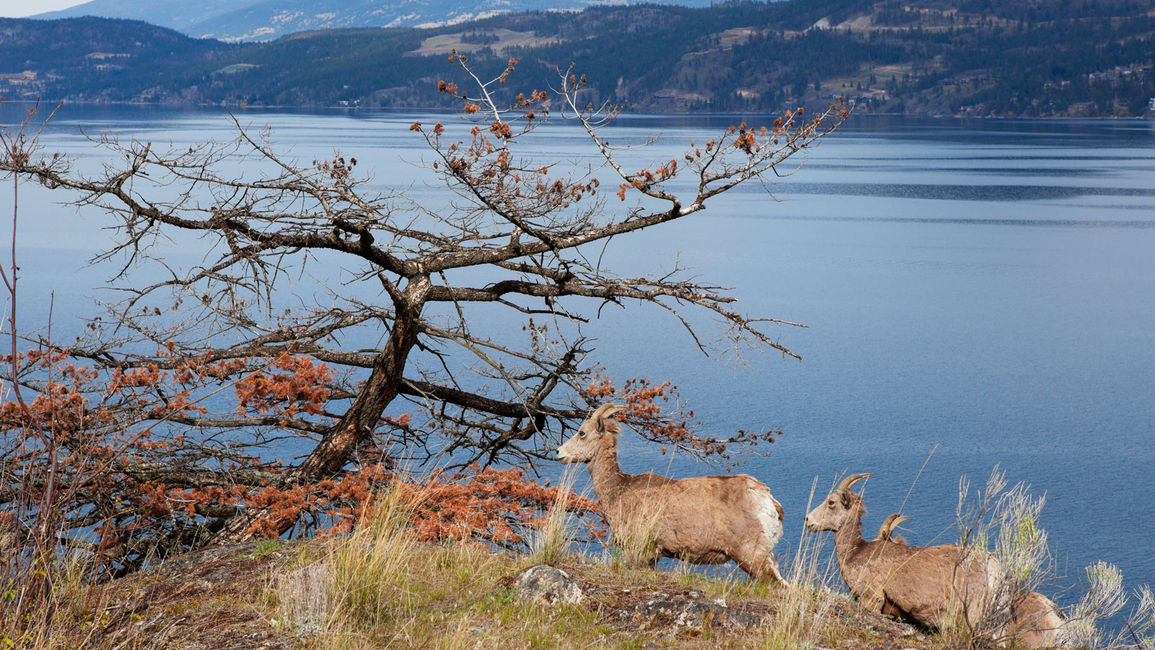 It's Wild Here: Wildlife & Wildflowers Near Kelowna Accommodations